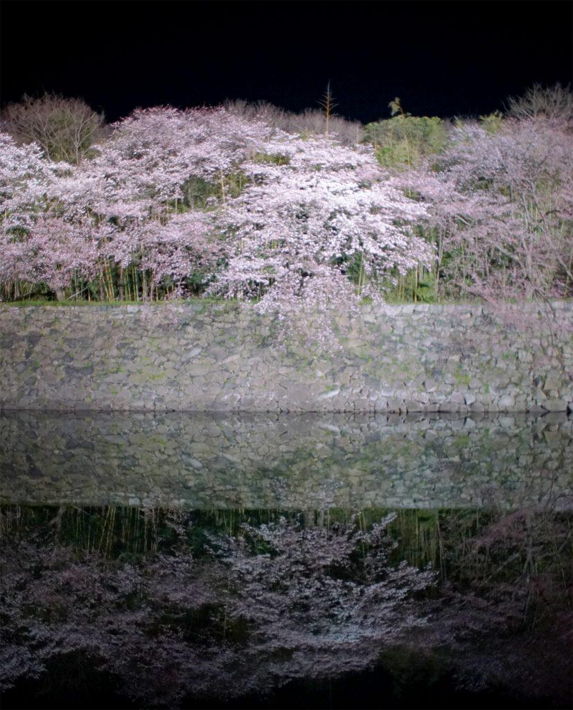 三分咲きの彦根城の桜2