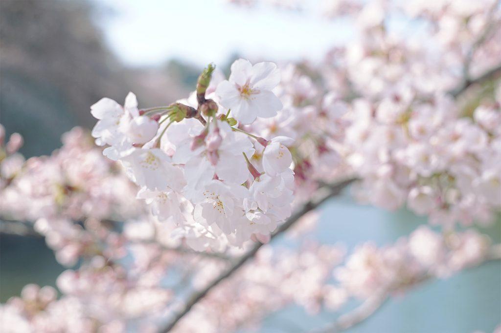 桜五分咲き2