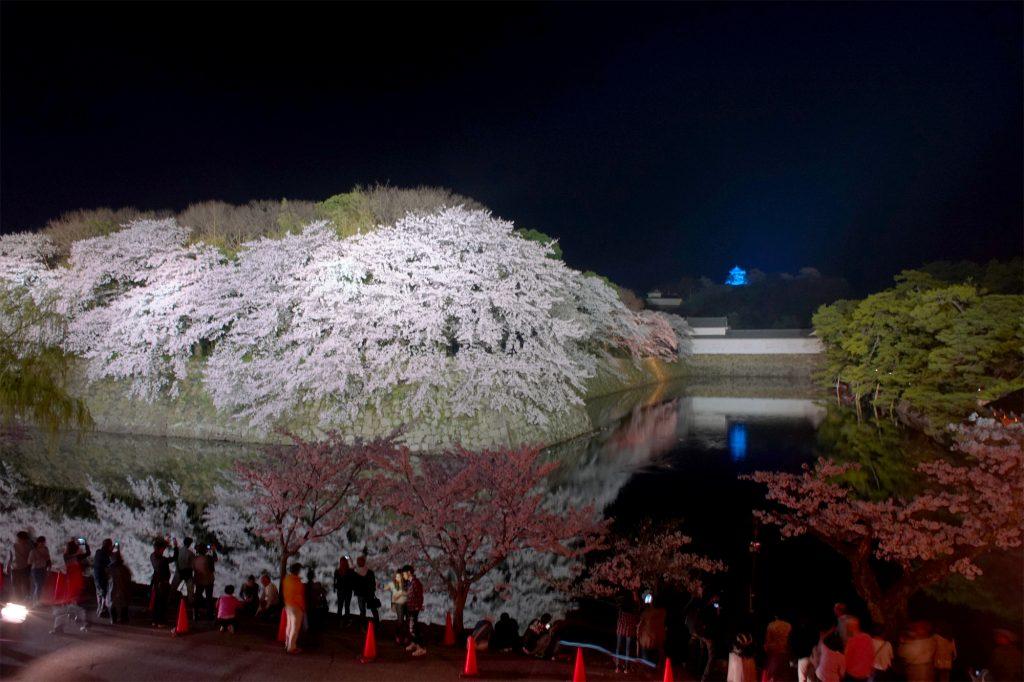 彦根城ブルーライトアップと桜