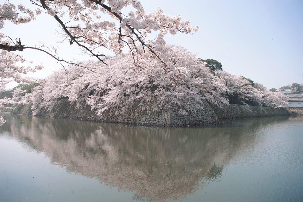 昼の彦根城のお堀の桜