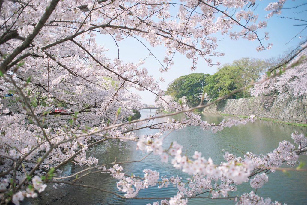 彦根城中堀沿いの桜