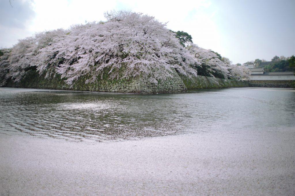 彦根城とお堀散っていく桜