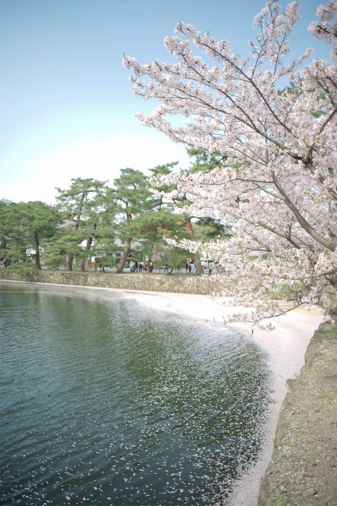 彦根城とお堀の散っていく桜